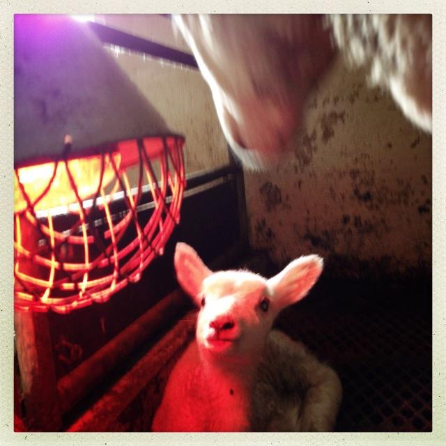 Si hallo til Erna! Årets førstefødte lam her på Klostergarden.